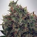 Ultra White Amnesia (Ministry of Cannabis) féminisée