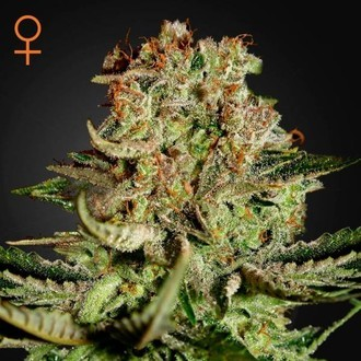 Super Bud (Greenhouse Seeds) féminisée