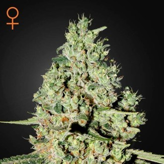 Super Critical (Greenhouse Seeds) féminisée