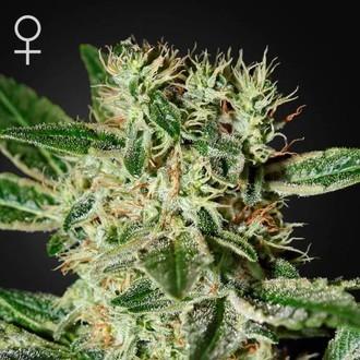 Ladyburn 1974 (Greenhouse Seeds) féminisée