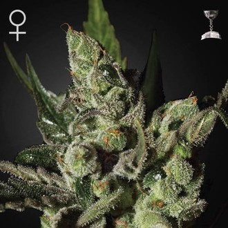 Exodus Cheese (Greenhouse Seeds) féminisée