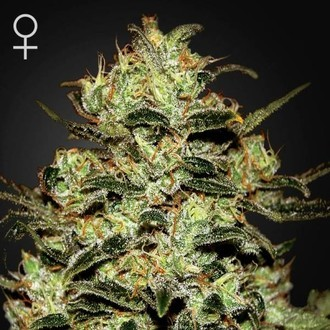 Moby Dick (Greenhouse Seeds) féminisée