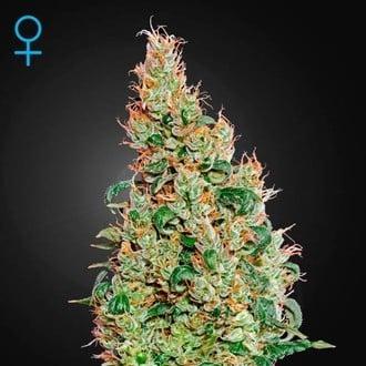 Green-O-Matic (Greenhouse Seeds) féminisée