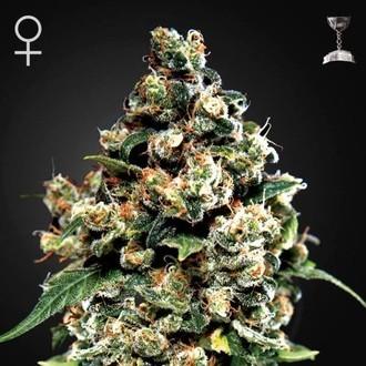 Jack Herer (Greenhouse Seeds) féminisée