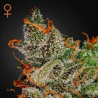 King's Kush (Greenhouse Seeds) féminisée