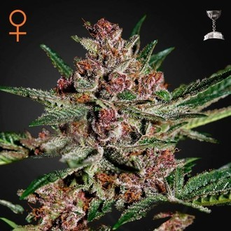 Bubba Kush (Greenhouse Seeds) féminisée