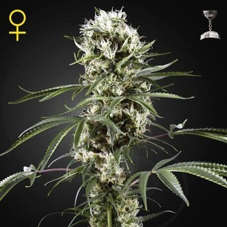 Super Lemon Haze (Greenhouse Seeds) féminisée