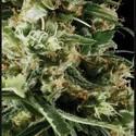 Arjan's Haze 2 (Greenhouse Seeds) féminisée