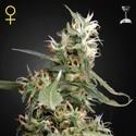 Arjan's Ultra Haze 1 (Greenhouse Seeds) féminisée