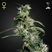 Arjan's Ultra Haze 2 (Greenhouse Seeds) féminisée