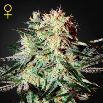 Arjan's Strawberry Haze (Greenhouse Seeds) féminisée