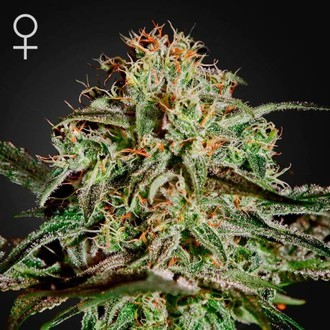 A.M.S. (Greenhouse Seeds) féminisée