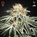 White Widow (Greenhouse Seeds) féminisée