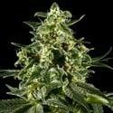 Himalaya Gold (Greenhouse Seeds) féminisée