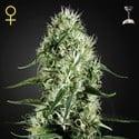 Super Silver Haze (Greenhouse Seeds) féminisée