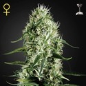 Super Silver Haze (Greenhouse Seeds) féminisée