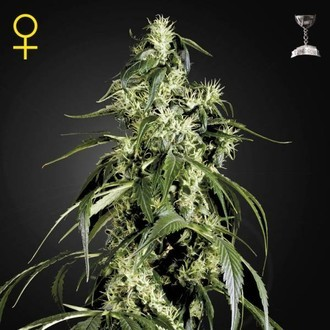 Arjan's Haze 1 (Greenhouse Seeds) féminisée