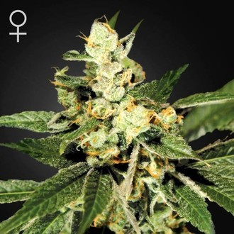 Train Wreck (Greenhouse Seeds) féminisée