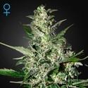 Super Critical Autoflowering (Greenhouse Seeds) féminisée