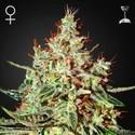K-Train (Greenhouse Seeds) féminisée