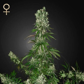 White Strawberry Skunk (Strain Hunters) féminisée