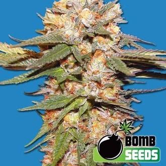 Big Bomb Auto (Bomb Seeds) féminisée