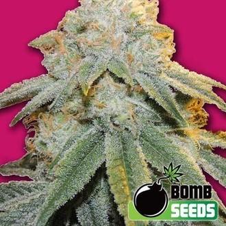 Bubble Bomb (Bomb Seeds) féminisée