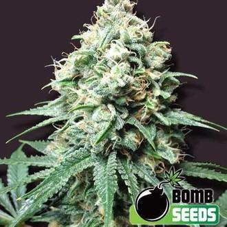 Kush Bomb (Bomb Seeds) féminisée
