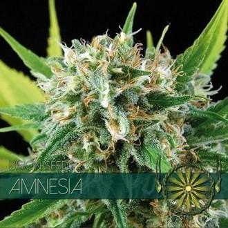 Amnesia (Vision Seeds) féminisée