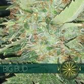 Big Bud (Vision Seeds) feminisiert