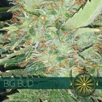 Big Bud (Vision Seeds) féminisée