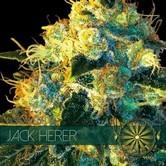 Jack Herer (Vision Seeds) féminisée