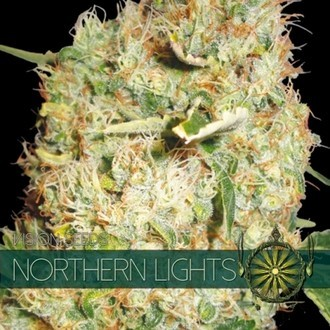 Northern Lights (Vision Seeds) féminisée