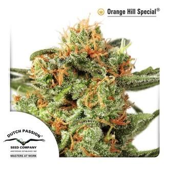 Orange Hill Special (Dutch Passion) féminisée
