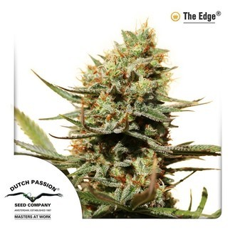 The Edge (Dutch Passion) féminisée