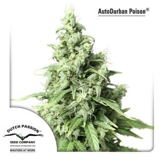 Auto Durban Poison (Dutch Passion) féminisée