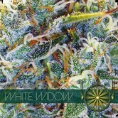 White Widow (Vision Seeds) féminisée
