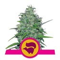 Skunk XL (Royal Queen Seeds) féminisée