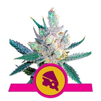 Royal Cheese - Fast Flowering (Royal Queen Seeds) féminisée