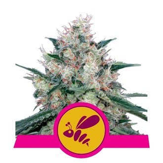 Honey Cream - Fast Flowering (Royal Queen Seeds) féminisée