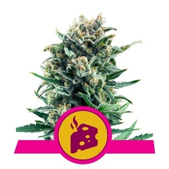 Blue Cheese (Royal Queen Seeds) féminisée