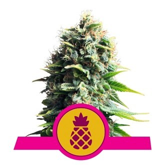 Pineapple Kush (Royal Queen Seeds) féminisée