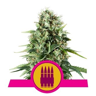 Royal AK (Royal Queen Seeds) féminisée