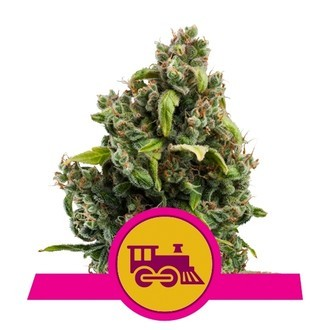 Candy Kush Express - Fast Flowering (Royal Queen Seeds) féminisée