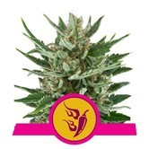 Speedy Chile - Fast Flowering (Royal Queen Seeds) féminisée