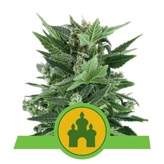 Royal Kush Automatic (Royal Queen Seeds) féminisée