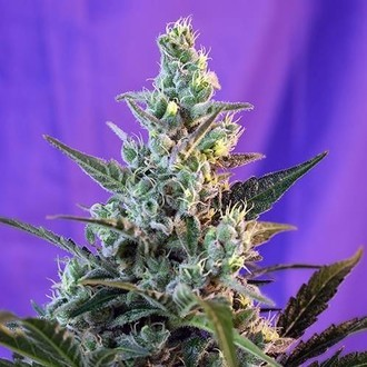 Sweet Skunk Auto (Sweet Seeds) féminisée