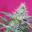 Sweet Cheese Auto (Sweet Seeds) féminisée