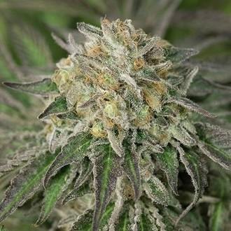 Amherst Sour Diesel (Humboldt Seeds) féminisée