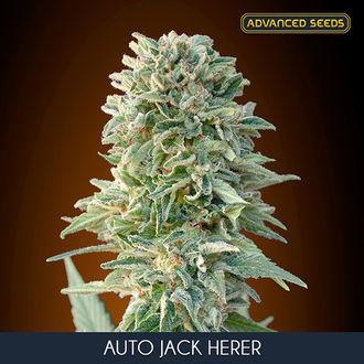 Auto Jack Herer (Advanced Seeds) féminisée